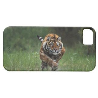 Carga mojada del tigre siberiano iPhone 5 carcasas