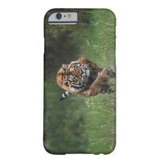 Carga mojada del tigre siberiano funda barely there iPhone 6