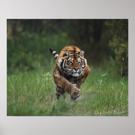 Carga mojada del tigre siberiano posters