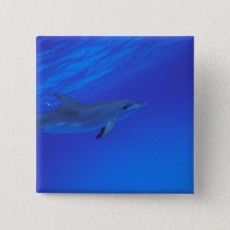 Caribbean, Bahamas Spotted dolphin Button