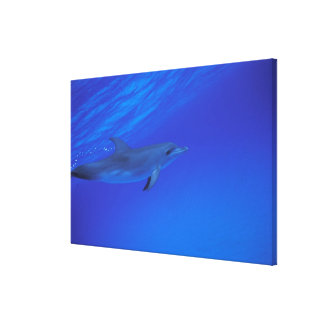 Caribbean, Bahamas Spotted dolphin Canvas Print
