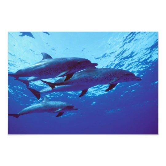 Caribbean, Bahamas Spotted dolphins Photo Print