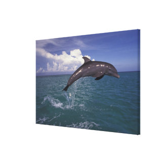 Caribbean, Bottlenose dolphin Tursiops 2 Stretched Canvas Prints