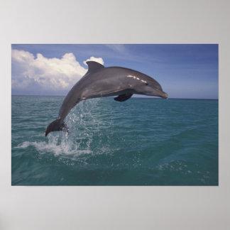Caribbean, Bottlenose dolphin Tursiops 3 Poster