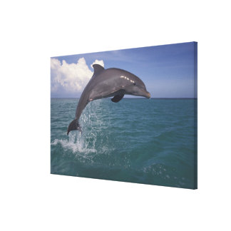Caribbean, Bottlenose dolphin Tursiops 4 Gallery Wrapped Canvas