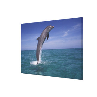Caribbean, Bottlenose dolphin Tursiops Canvas Print