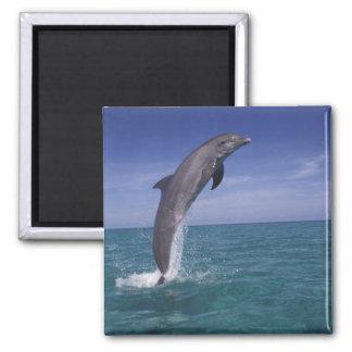 Caribbean Bottlenose dolphin Tursiops Magnets