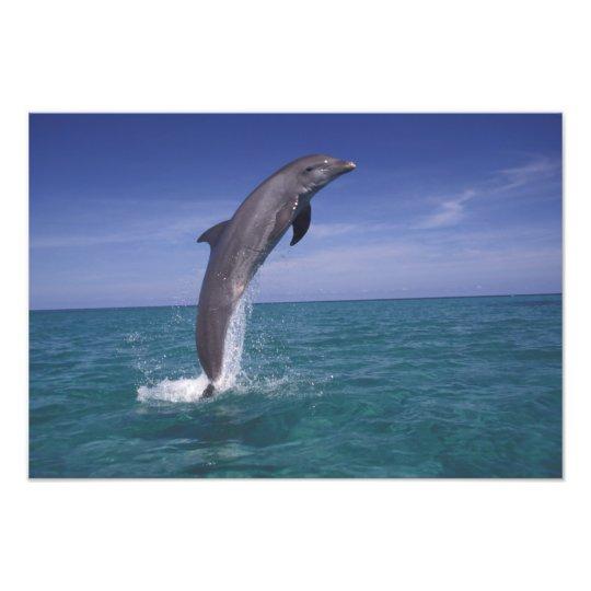 Caribbean, Bottlenose dolphin Tursiops Photo Print