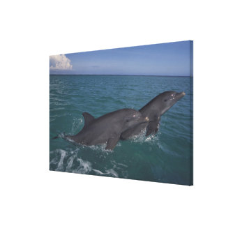 Caribbean, Bottlenose dolphins Tursiops 10 Canvas Print