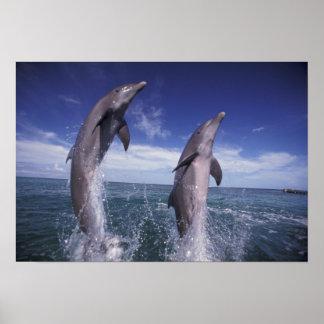 Caribbean, Bottlenose dolphins Tursiops 10 Poster
