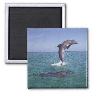 Caribbean, Bottlenose dolphins Tursiops 11 2 Inch Square Magnet