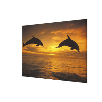 Caribbean, Bottlenose dolphins Tursiops 11 Canvas Print