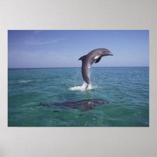 Caribbean, Bottlenose dolphins Tursiops 11 Poster