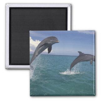 Caribbean, Bottlenose dolphins Tursiops 13 2 Inch Square Magnet