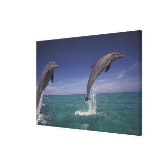Caribbean, Bottlenose dolphins Tursiops 13 Canvas Print