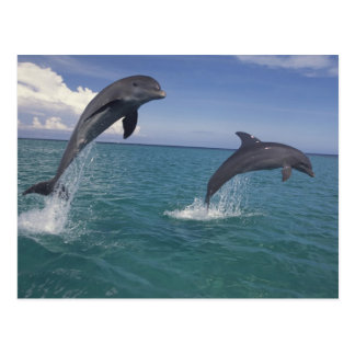 Caribbean, Bottlenose dolphins Tursiops 13 Postcard