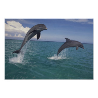 Caribbean, Bottlenose dolphins Tursiops 13 Poster
