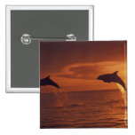 Caribbean, Bottlenose dolphins Tursiops 14 2 Inch Square Button
