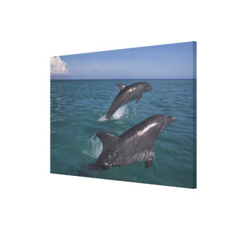 Caribbean, Bottlenose dolphins Tursiops 14 Gallery Wrap Canvas