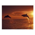 Caribbean, Bottlenose dolphins Tursiops 14 Postcard