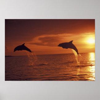 Caribbean, Bottlenose dolphins Tursiops 14 Poster