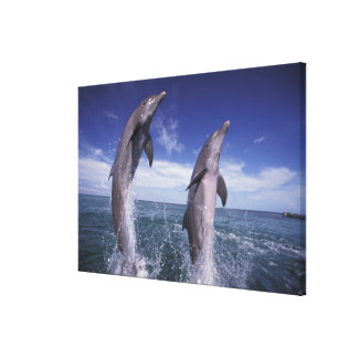Caribbean, Bottlenose dolphins Tursiops 15 Gallery Wrapped Canvas