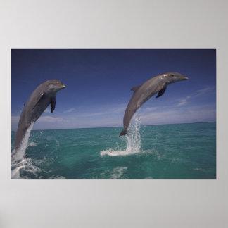 Caribbean, Bottlenose dolphins Tursiops 15 Poster