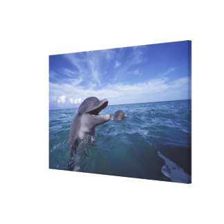 Caribbean, Bottlenose dolphins Tursiops 16 Canvas Print