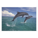 Caribbean, Bottlenose dolphins Tursiops 17 Photo Print
