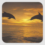 Caribbean, Bottlenose dolphins Tursiops 17 Square Sticker