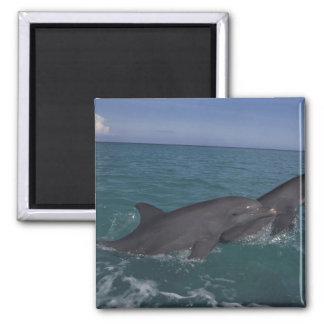 Caribbean Bottlenose dolphins Tursiops 2 Refrigerator Magnet