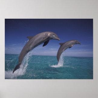 Caribbean, Bottlenose dolphins Tursiops 2 Poster