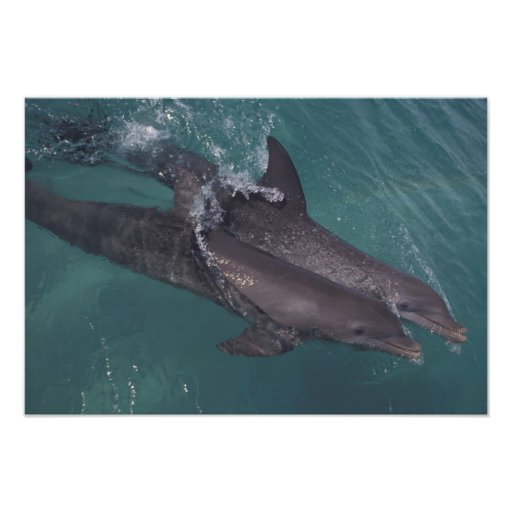 Caribbean, Bottlenose dolphins Tursiops 4 Photo
