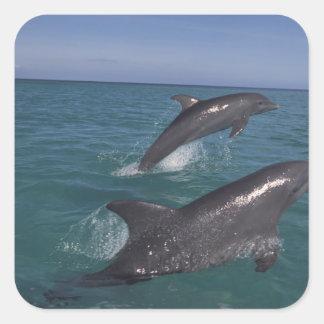 Caribbean, Bottlenose dolphins Tursiops 4 Square Sticker