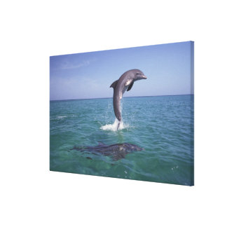 Caribbean, Bottlenose dolphins Tursiops 5 Stretched Canvas Print