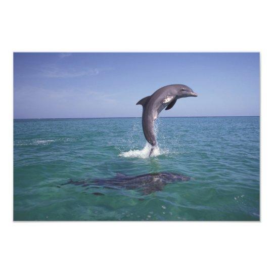Caribbean, Bottlenose dolphins Tursiops 5 Photo Print