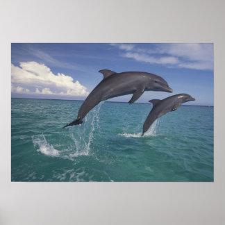 Caribbean, Bottlenose dolphins Tursiops 6 Poster