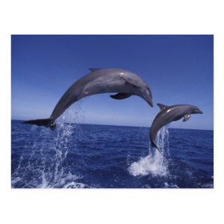 Caribbean, Bottlenose dolphins Tursiops 7 Post Card
