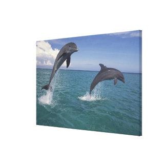 Caribbean, Bottlenose dolphins Tursiops 8 Stretched Canvas Prints