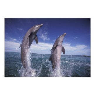 Caribbean, Bottlenose dolphins Tursiops 8 Photo Print