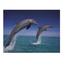 Caribbean, Bottlenose dolphins Tursiops 8 Postcard