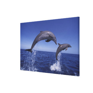 Caribbean, Bottlenose dolphins Tursiops Gallery Wrap Canvas