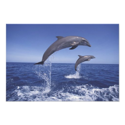 Caribbean, Bottlenose dolphins Tursiops Photo Print