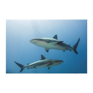 Caribbean Reef Shark Stretched Canvas Print