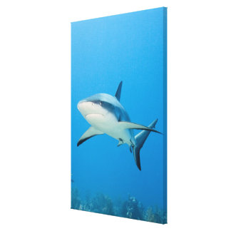 Caribbean reef shark (Carcharhinus perezi) Canvas Print
