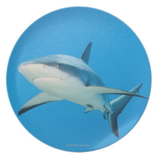 Caribbean reef shark (Carcharhinus perezi) Dinner Plate