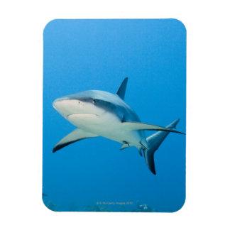 Caribbean reef shark (Carcharhinus perezi) Magnet