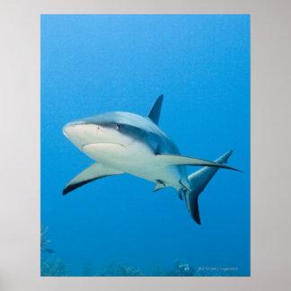 Caribbean reef shark (Carcharhinus perezi) Poster