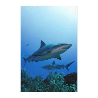Caribbean Reef Shark Jardines de la Reina Canvas Print