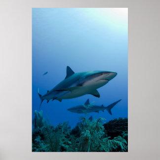 Caribbean Reef Shark Jardines de la Reina Poster